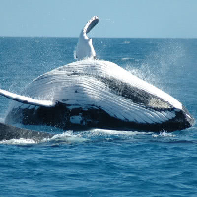 Cape Riviera & Whales Humpback Whale Breach