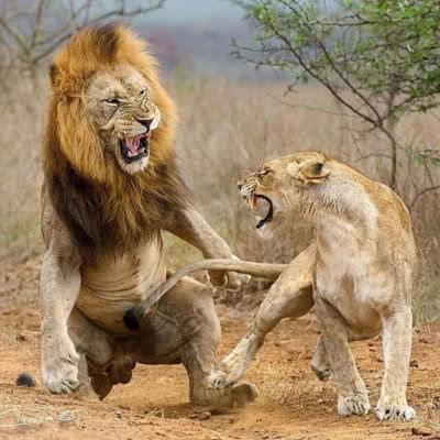 Cape Town Safaries Fight