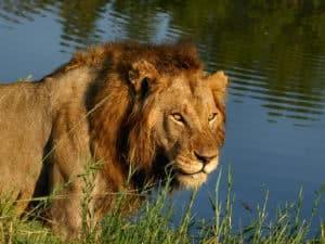Idube Lion At River