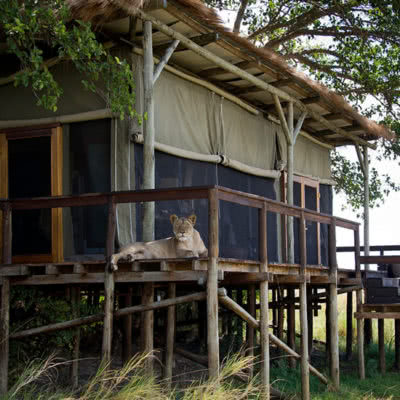 Shumba Camp Deck Lion